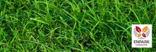 Bermuda grass in las vegas landscaping