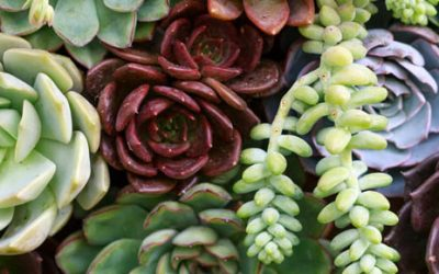 Using Succulents as Landscaping Ground Cover