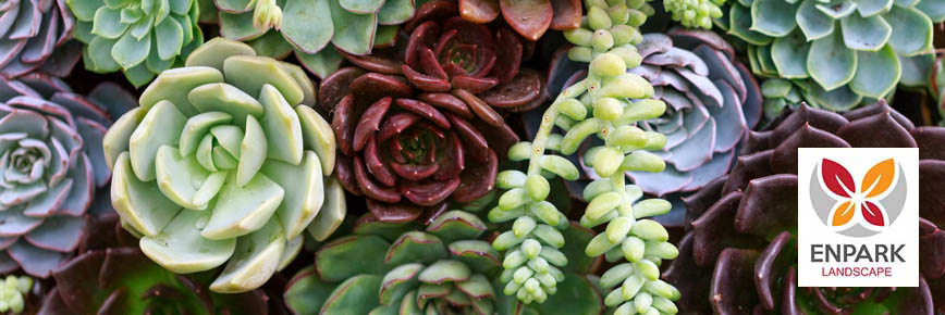 Succulents make great ground cover