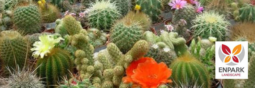 How to Grow and Maintain Cacti in Landscaping